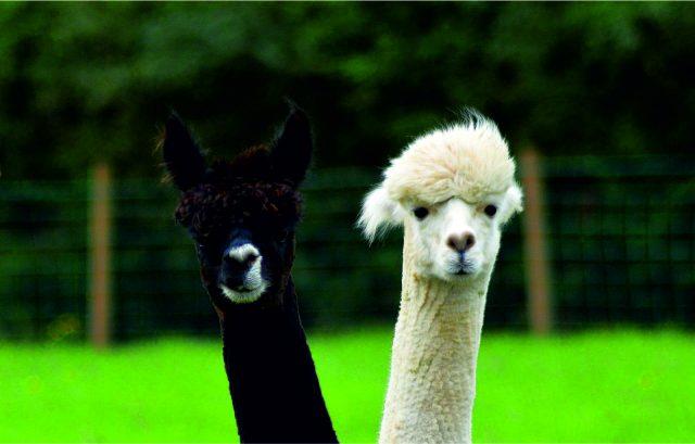 Allpaqa alpacas