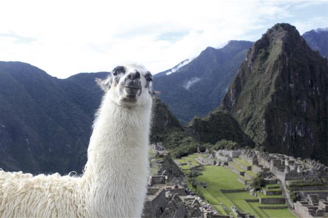 alpaca perú